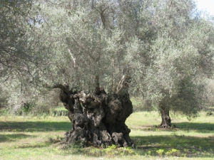 Les oliviers de Majorque