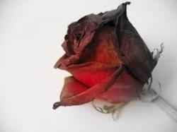 Rotting Rose